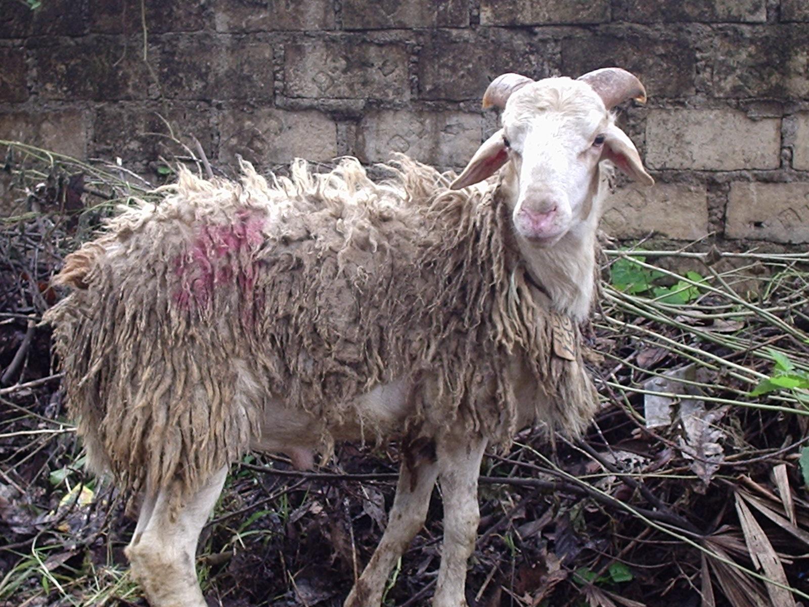 Laporan Pandangan Mata Penyembelihan Hewan Kurban